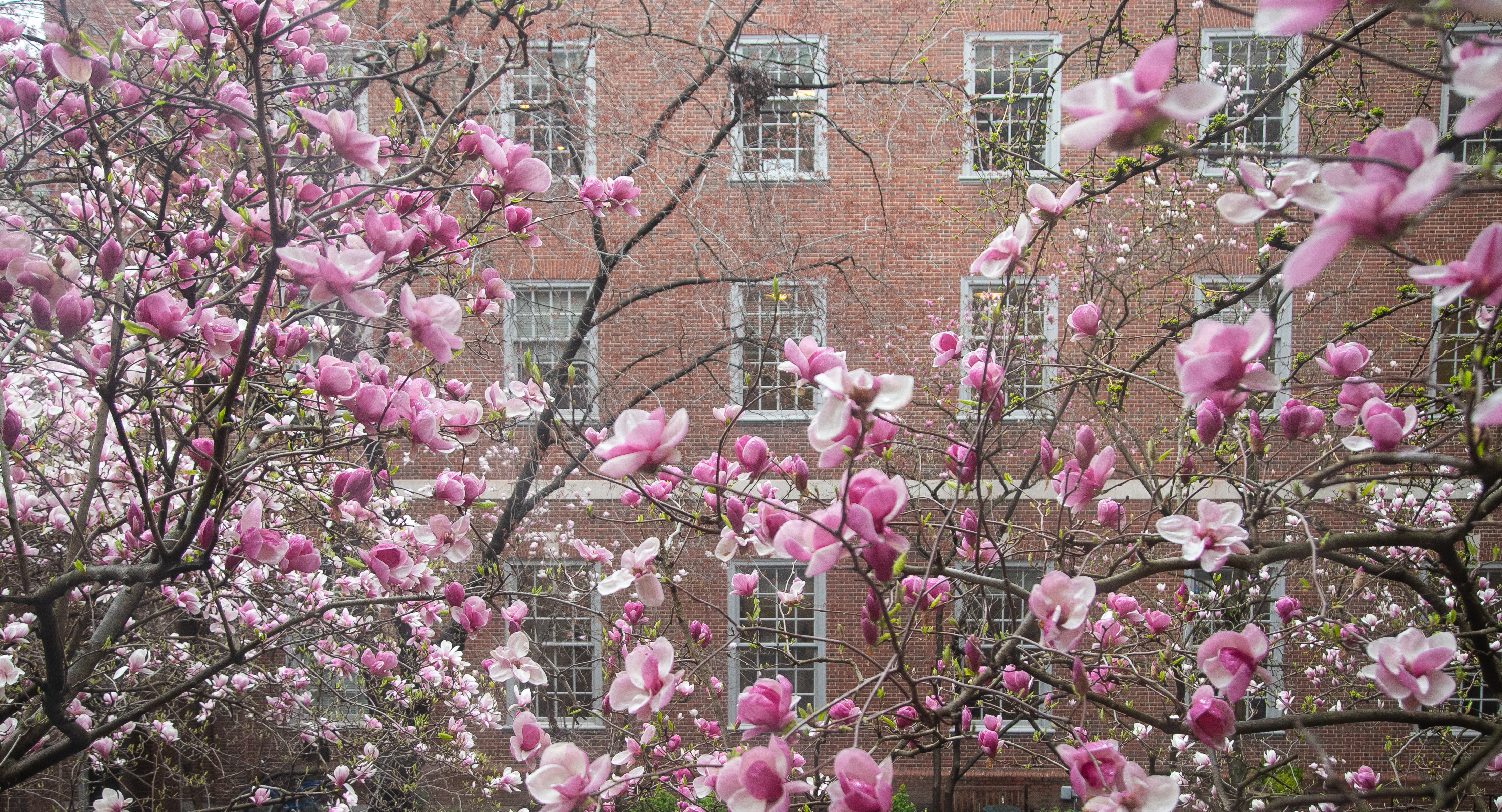The magnolia trees in full bloom in Vanderbilt Hall Courtyard