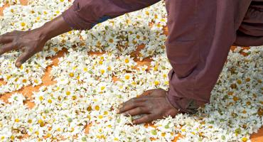 Drying Pyrethrum flowers in the sun in Rwanda, Africa