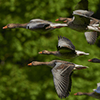 A flock of migratory geese in flight.